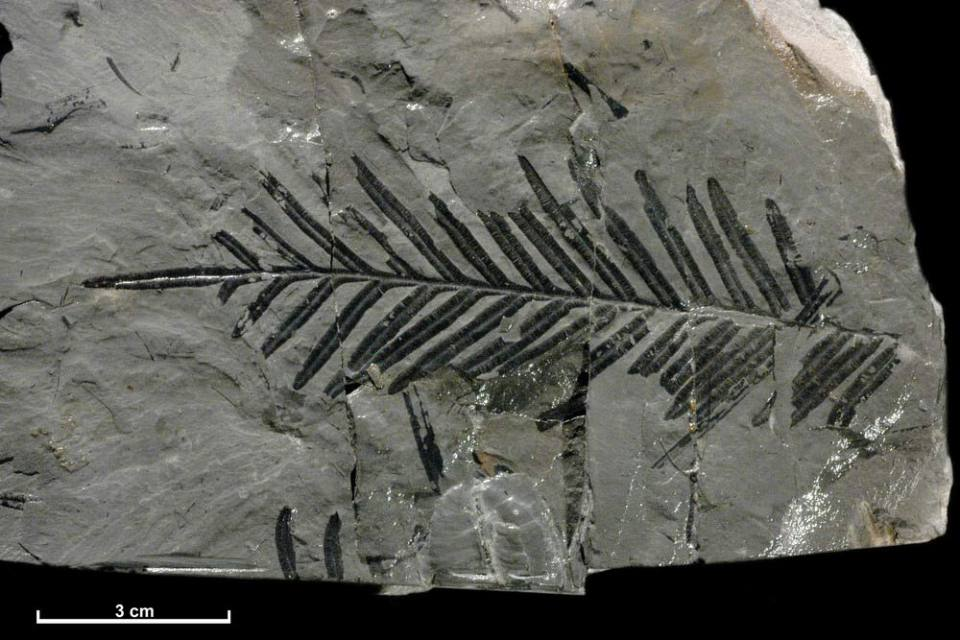 A fossil specimen of a fern