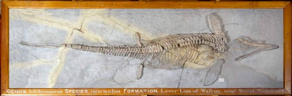 Ichthyosaurus intermedius