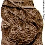 Complete specimen of Uintacrinus socialis. ©Natural History Museum.