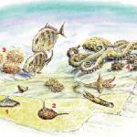 Echinoids and their enemies : A seascape showing the kinds of environments inhabited by modern and fossil echinoids. Burrowing sea-urchins (1 & 2) conceal themselves from predators, while non-burrowing types (3 & 4) cling to rocky surfaces and have defensive spines to protect against fish, lobster, starfish and octopus. ©Richard Bell.