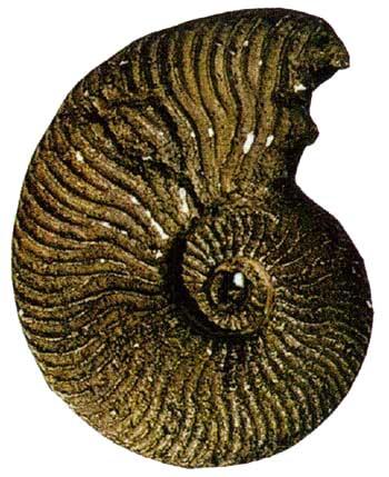 Endemoceras (Early Cretaceous, Hauterivian).