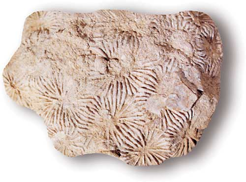 <em>Isastrea conybeari</em>, a colonial scleractinian coral from the mid-Jurassic. BGS ©UKRI. All rights reserved.