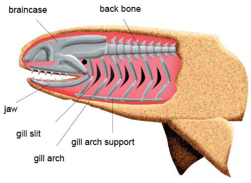 The front gill support of the jawless fish folded over and evolved into a jaw. Later teeth developed along it. In some cases the second gill is reduced to a small hole called a spiracle. BGS ©UKRI. All rights reserved.