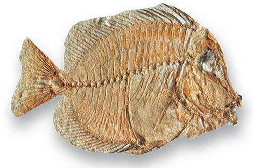 Naso, a teleost that lived during the Palaeogene, has been called 'surgeon fish' after the scalpel-like bone at the base of its tail. BGS ©UKRI. All rights reserved.