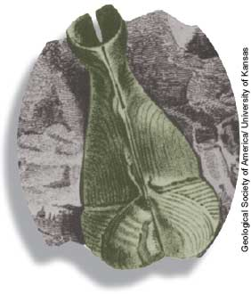 Penitella (Miocene to Recent), a rock-boring bivalve. ©Geological Society of America/University of Kansas.