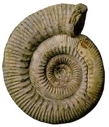 Stephanoceras (Mid Jurassic, Bajocian).