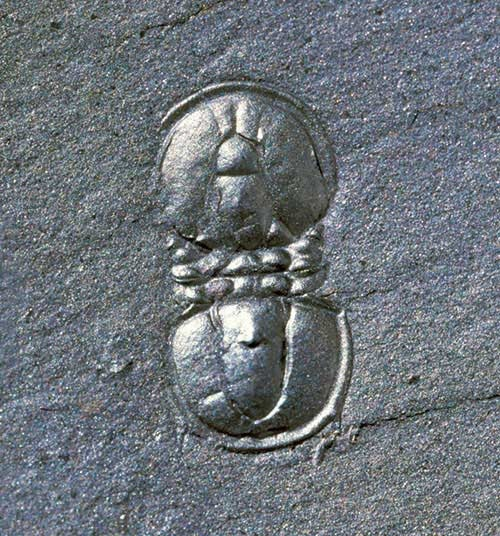 In contrast this tiny agnostid trilobite is five millimetres long. Some have questioned whether agnostids are really trilobites at all.