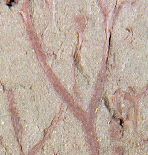 <em>Cooksonia</em>, one of the earliest vascular plants that colonised the land during the Silurian.