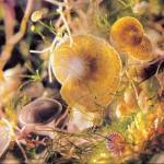 Heterostegina depressa (2.4mm across) and Amphistegina lessoni (1.3 mm) living on weeds in a rock pool in Hawaii.