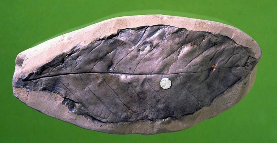 This laurel leaf fossil, from the Isle of Wight, shows veins that are clearly visible. The fossil was probably similar to leaves of today i.e. leathery, shiny and containing aromatic oil.