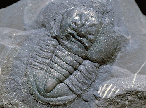 Pricyclopyge, a trilobite with large eyes and all round vision which probably swam rather than crawling on the sea floor. (x2.5).