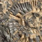 Ammonite p815563