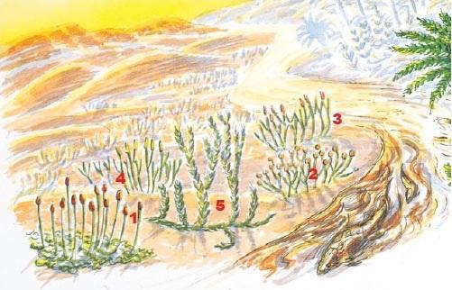 The earliest plants grew in areas like the coastal mud flats of the early Devonian (410 million years ago): the non-vascular bryophyte <em>Sporogonites</em> (1) grows alongside vascular <em>Cooksonia</em> (2), <em>Rhynia</em> (3), <em>Zosterophyllum</em> (4) and <em>Drepanophycus</em> (5). A bottom-dwelling fish searches for food.