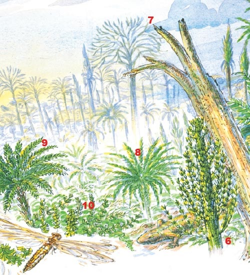 The first forests were the great tropical coal forests of the late Carboniferous (300 million years ago): tree-sized horsetails (<em>Calamites</em> 6), club-mosses (<em>Lepidodendron</em> 7), tree-ferns (<em>Psaronius</em> 8), and the seed ferns (<em>Medullosa</em> 9), rise above an undergrowth of ferns, seed ferns, herbaceous horsetails, like <em>Sphenophyllum</em> (10), and clubmosses. Giant Carboniferous dragonflies and amphibians inhabit the forests.