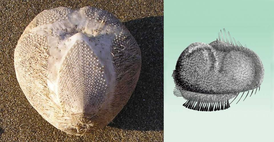 Left: Echinocardium cordatum (Pennant, 1777) recent; also known as the sea potato. Its bristle-like spines on its underside are used for burrowing. ©Creative commons, Cwmhiraeth. Right: artist's interpretation.