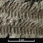 Plant leaves and ferns are good examples of fossils produced by compression. This image shows Coniopteris is a genus of true fern, or pteropsid, fossil from the Jurassic Period.