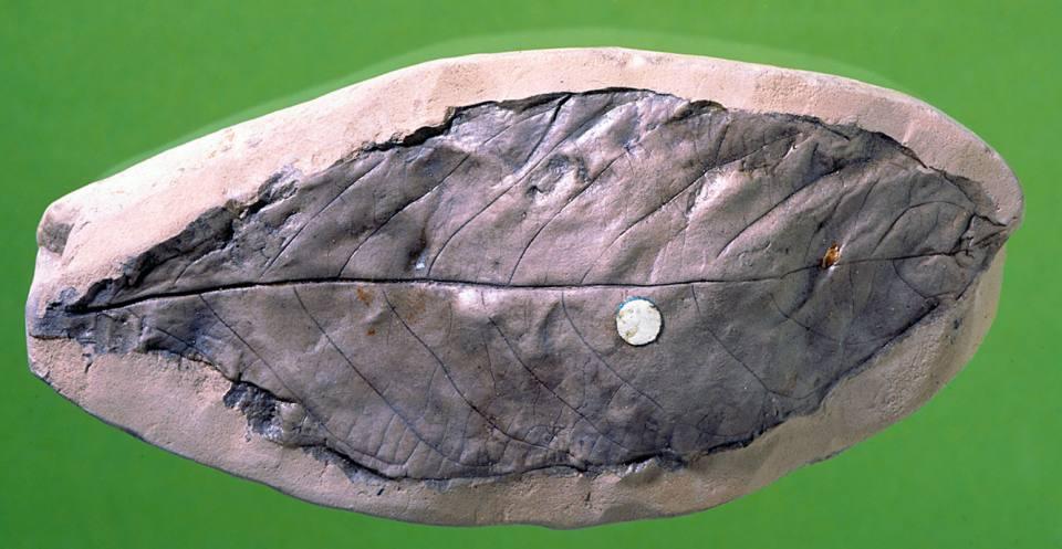 Laurel from the Palaeogene.