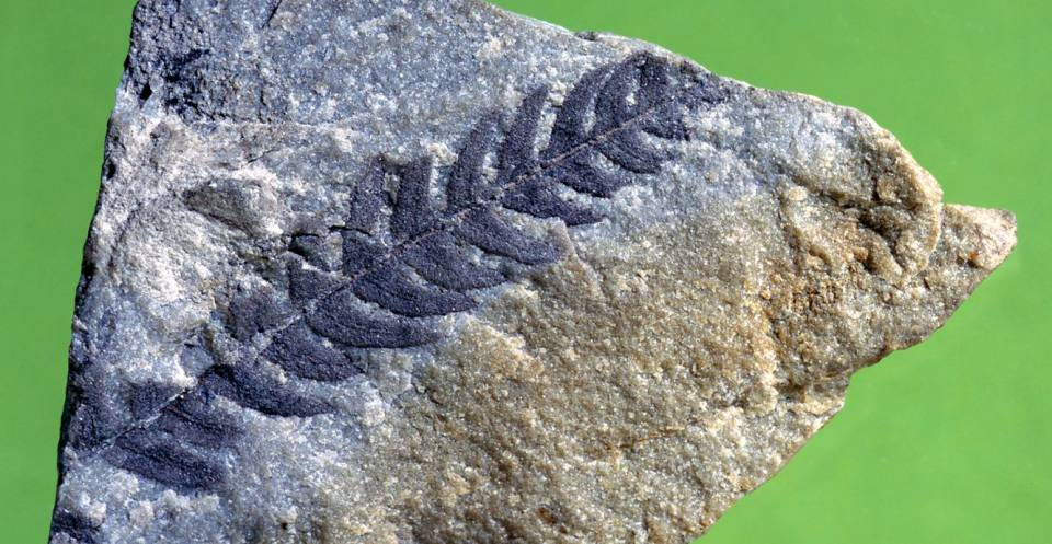 A frond of <em>Cladophlebi</em>s, a small fern that grew amongst the large conifers and cycads in southern England during the Cretaceous.