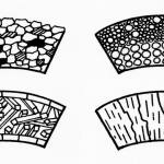 Cross sections of foraminiferal walls (highly magnified) showing the different structures). Agglutinated wall made of cemented sand grains (top left) (textulariids). Microgranular wall made of granular calcite crystals (top right) (fusulinids). Porcelaneous wall made of three layers of calcite (bottom left) (miliolids). Hyaline wall made of calcite or aragonite crystals (bottom right) (rotaliids and robertinids).