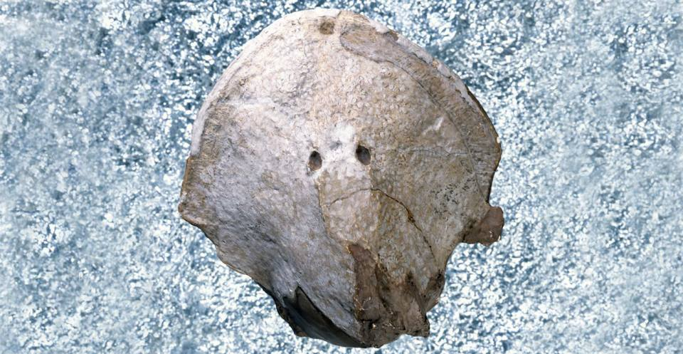 A head-shield of a jawless cephalaspid, from the lower Devonian of Wales.