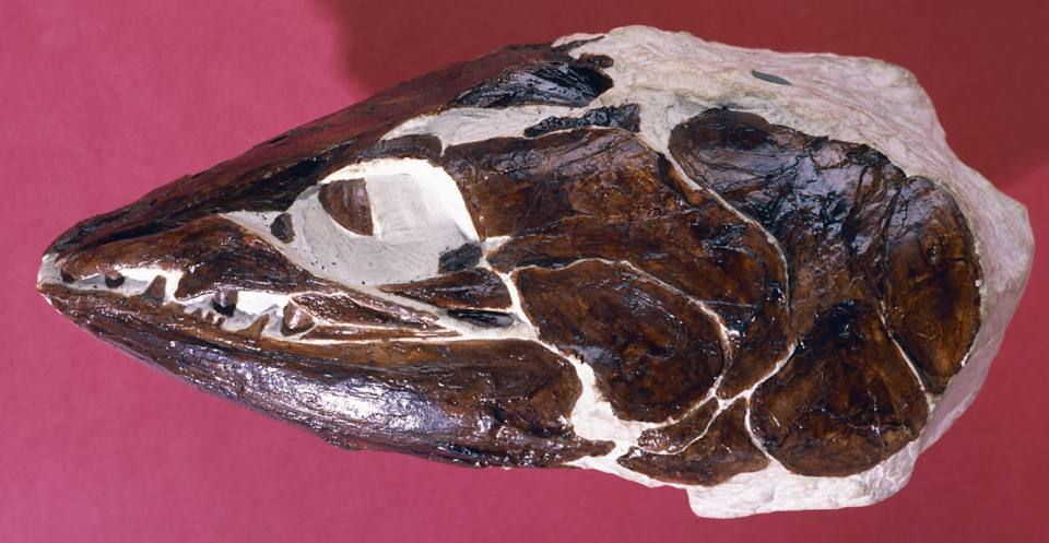The head of Apateodus, a jawed, ray-finned fish which lived in the late Cretaceous Chalk Sea in Surrey, southern England.