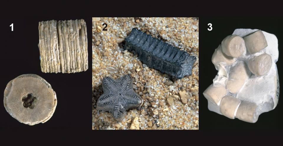 Crinoid stem columnals: 1 Crotalocrinites (Silurian), 2 Pentacrinites (Jurassic), 3 Bourgueticrinus (Cretaceous).