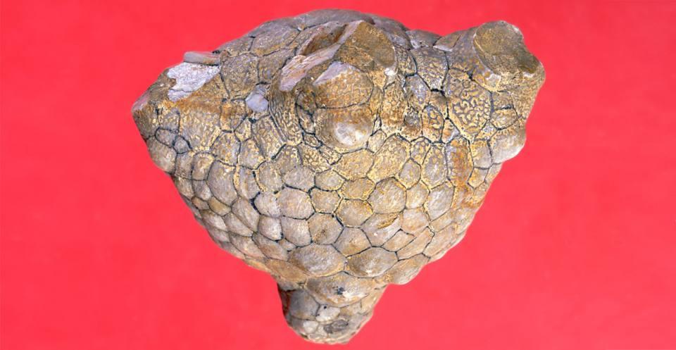 Calyx of <em>Amphoracrinus portlocki</em> Wright, 1995 (Carboniferous).