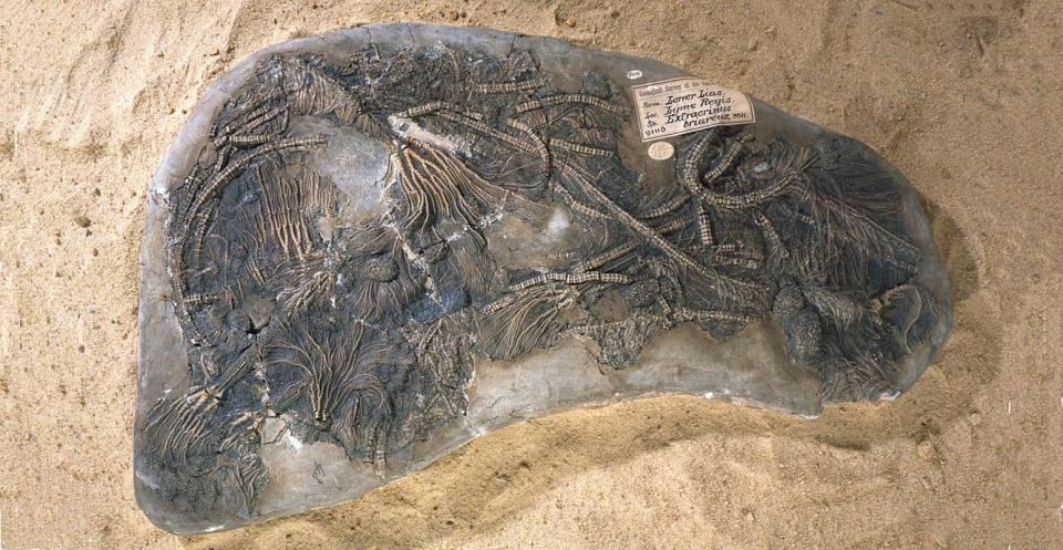 Pentacrinites briareus (Miller, 1821) Lower Jurassic. A rare example of complete preservation of a crinoid skeleton.