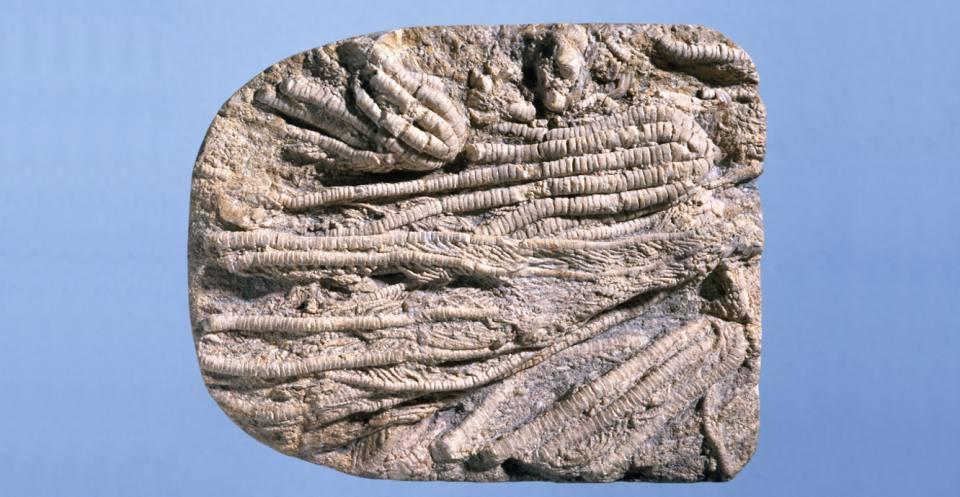 Liliocrinus? prattii (Gray, 1828) Jurassic.