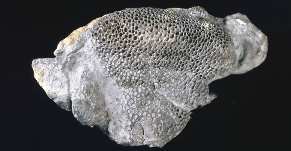 <em>Palaeofavosites rugosus</em> a tabulate coral from the Silurian of May Hill, Gloucestershire, England.