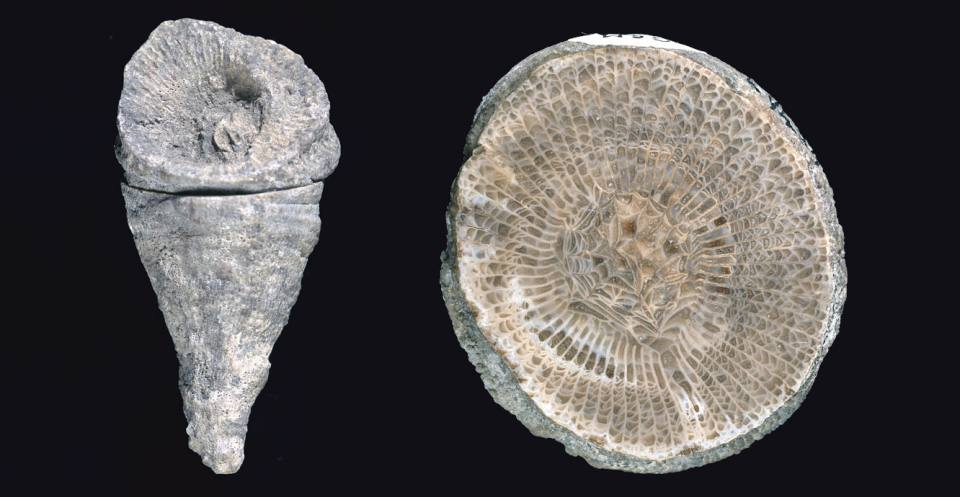 <em>Dibunophyllum bipartitum</em> from the Carboniferous of North Wales, a solitary rugose coral (left). The cross section view (right) shows septa and dissepiments.