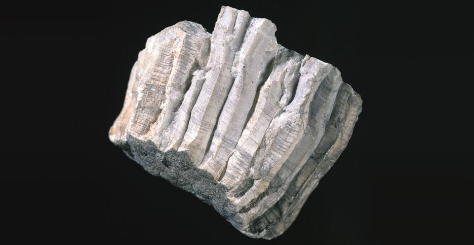 <em>Lithostrotion basaltiformis</em a colonial rugose coral from the Carboniferous of Derbyshire.