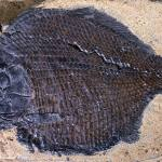 Dapedium a mollusc-eating ray-finned fish that lived in Dorset during the early Jurassic.