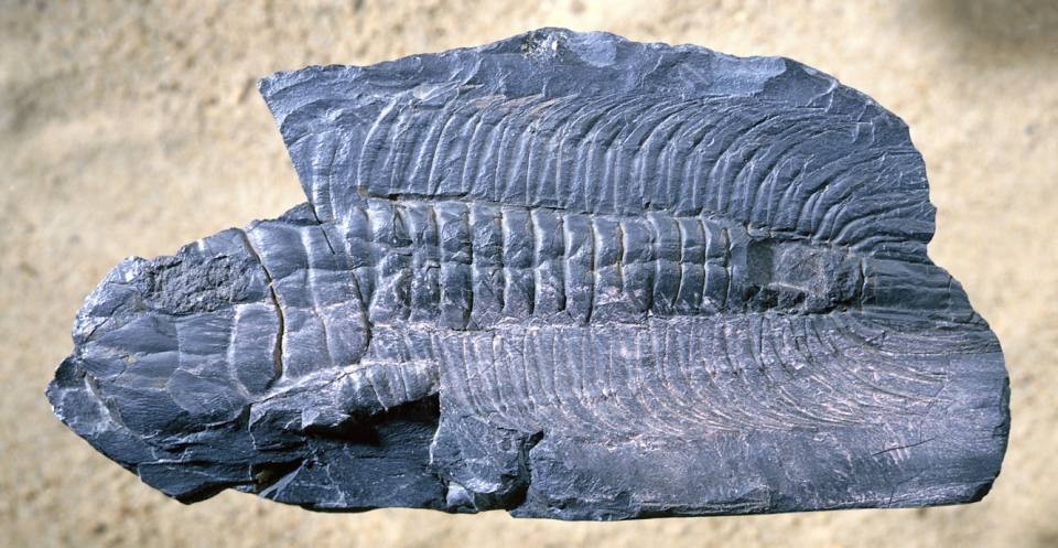 Paradoxides: one of the giants of the trilobite world. This specimen, though incomplete, is 12 cm long.