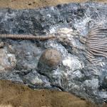 Periechocrinus, a Silurian crinoid.