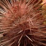 A modern sea-urchin.