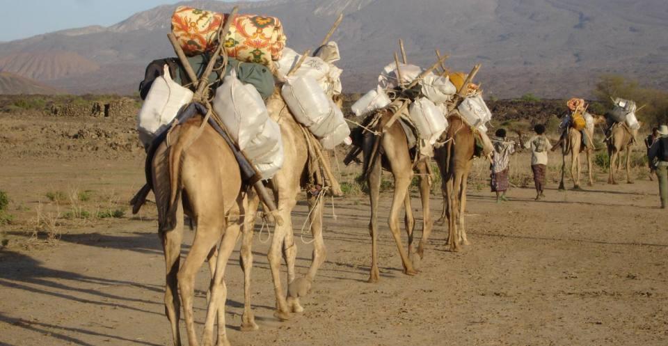 Fieldwork camels