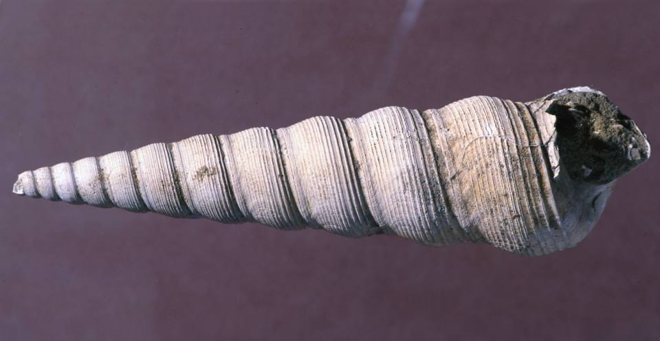 The caenogastropod Turritella sulcifera, from Hampshire, southern England, searched for food by burrowing into the muddy sea floor during the Palaeogene (Eocene).