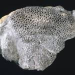coral p549521