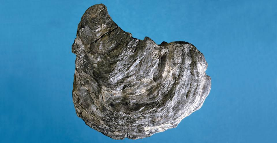 Deltoideum (a Jurassic oyster).