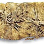 Hemicidaris from the Jurassic, with elongate spines.