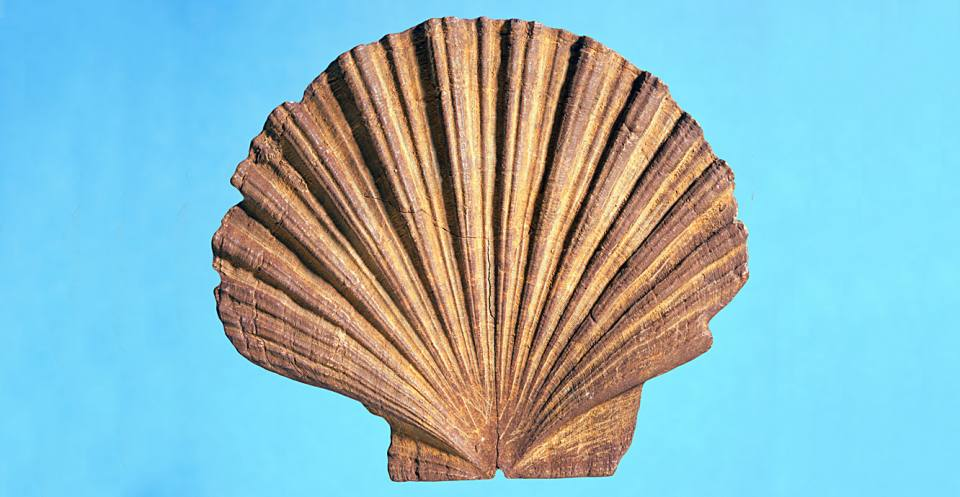 Pecten (Eocene to Recent).
