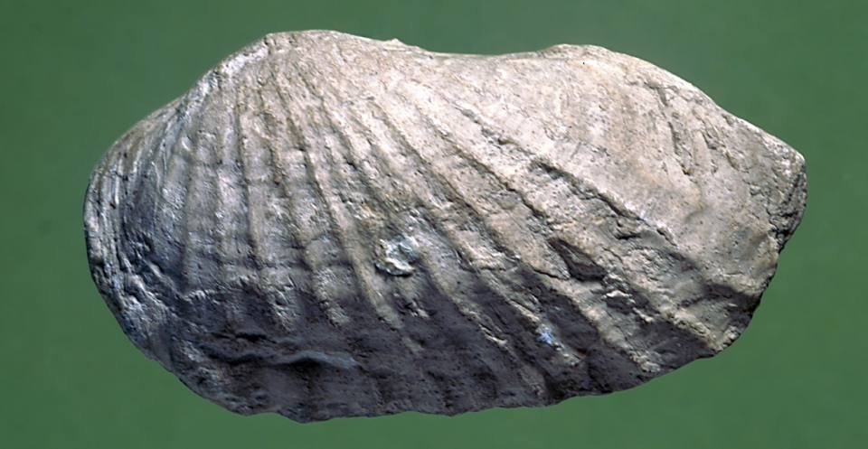 Pholadomya (Triassic to Recent), a deep-burrowing bivalve.