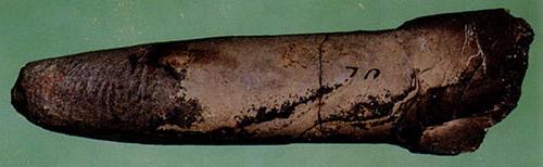 <em>Dactyloteuthis crossotela,</em> (Blake, 1876) Early Jurassic, Toarcian.