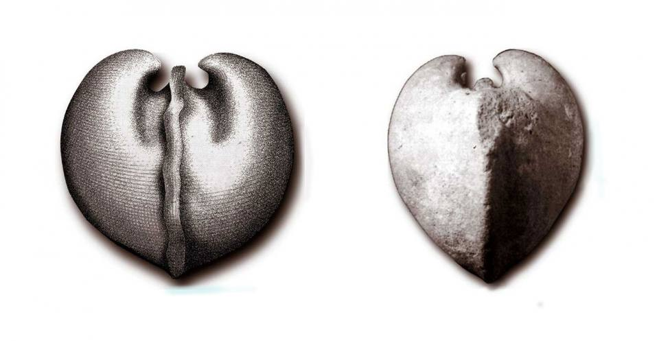 """Bull's heart"" (left); The bivalve Protocardia (right)."
