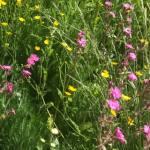 Wildflower meadow at BGS Keyworth campus