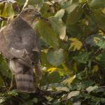A large grey bird of prey, a sparrowhawk, sits in a green-leave tree