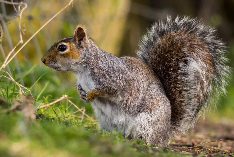 Squirrel_web