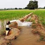Water being punped into a paddy field of crops