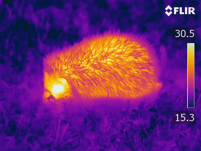 A hedgehog, caught on infrared camera.